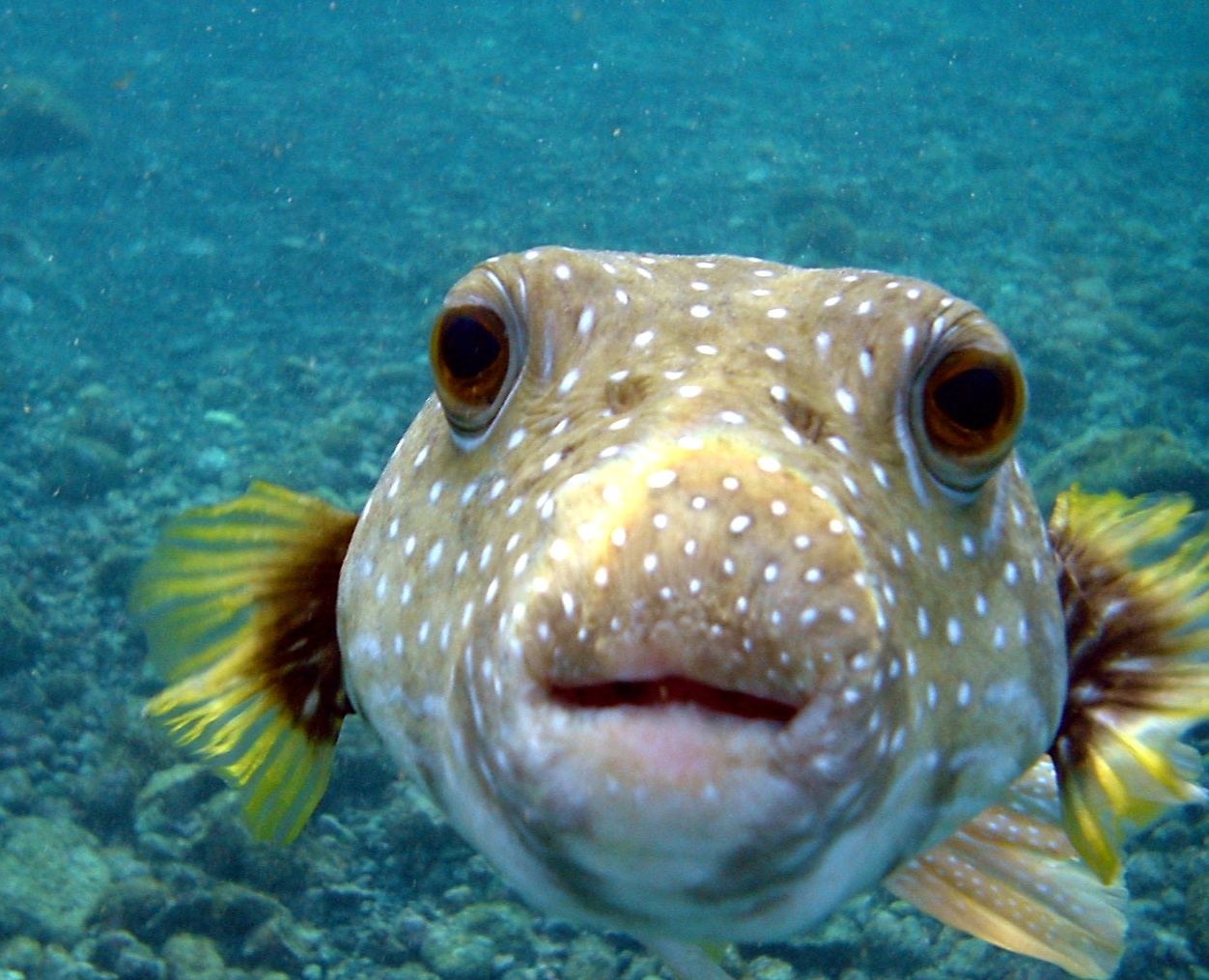 A picture of fish on animal picture society for Puffer fish diet