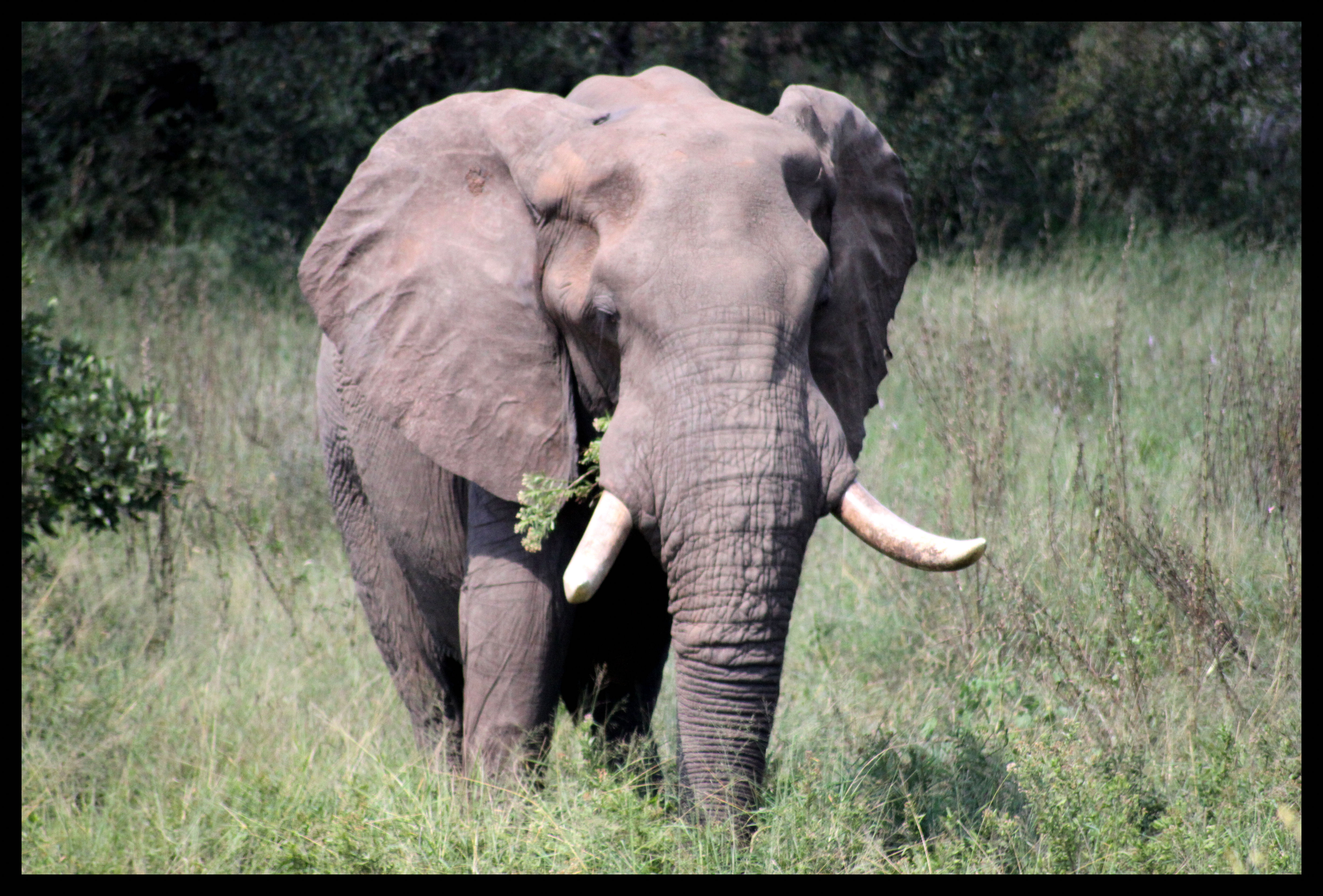 an examination and description of the african elephant