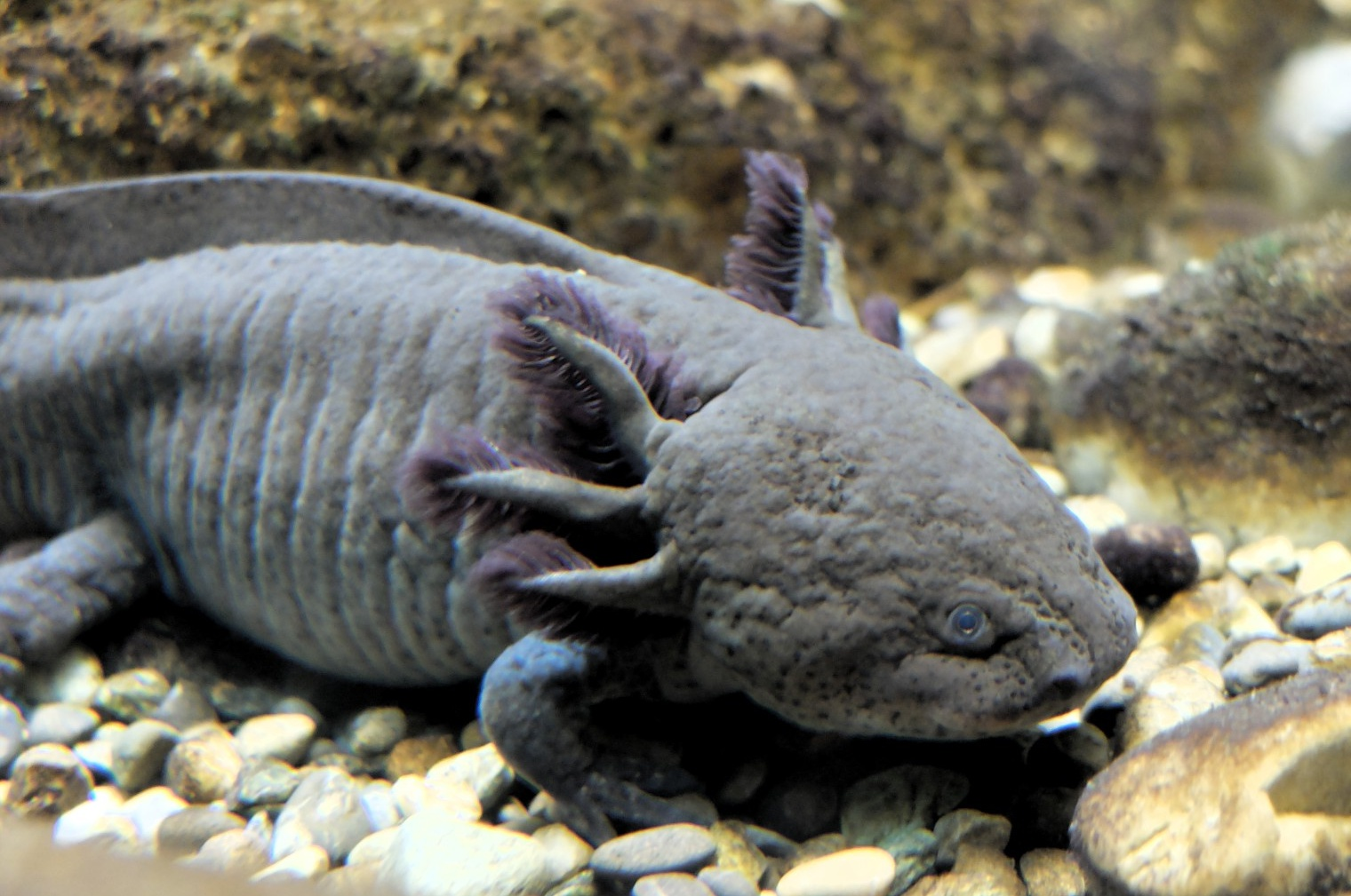 Download axolotl Salamander Pictures on Animal Picture Society