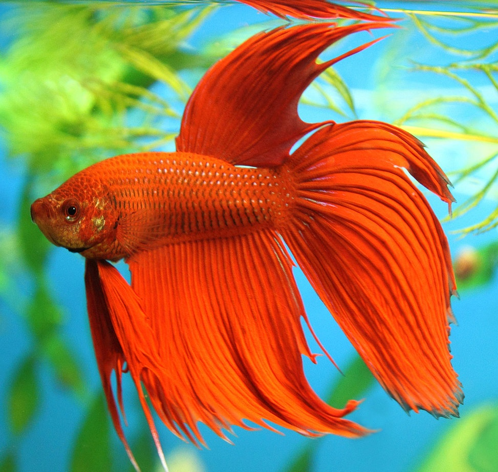 Beta fish pictures on animal picture society for What is a beta fish