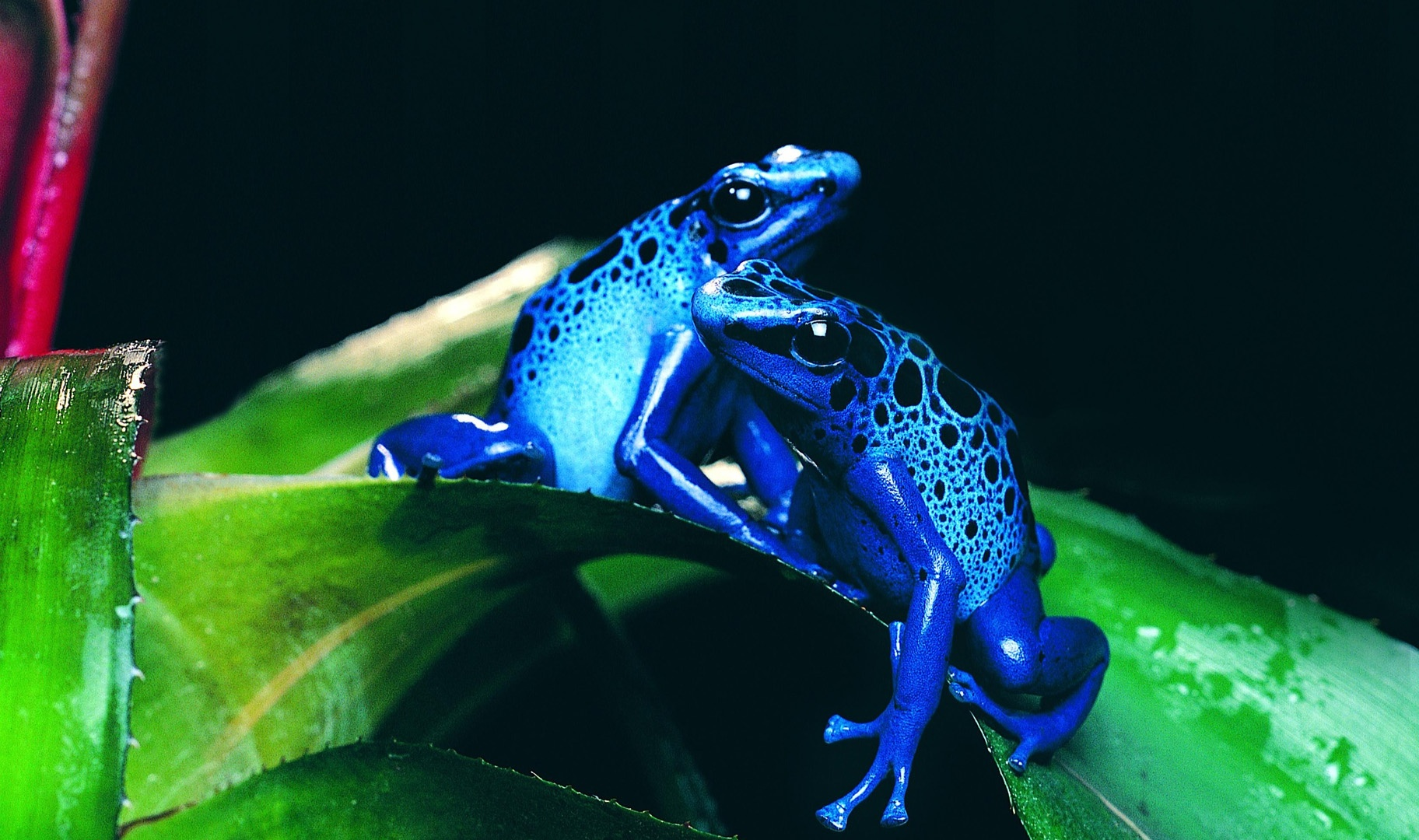 Download Blue Frog Pictures on Animal Picture Society
