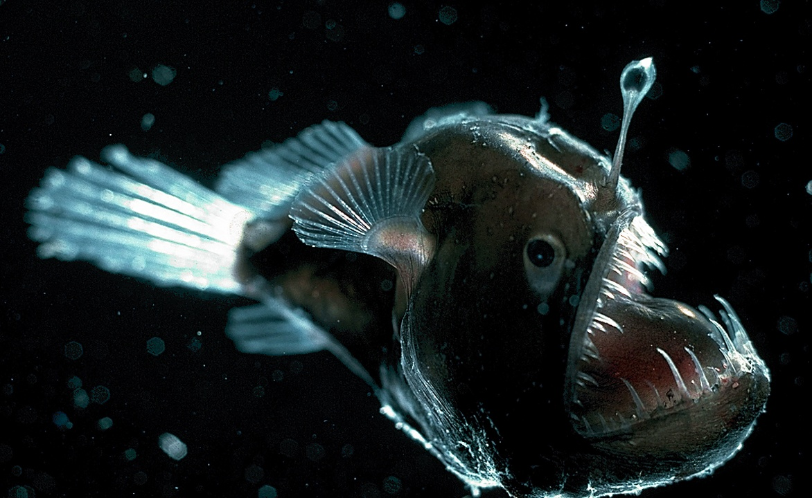 Deep sea angler pictures for your website on animal for Angler fish habitat