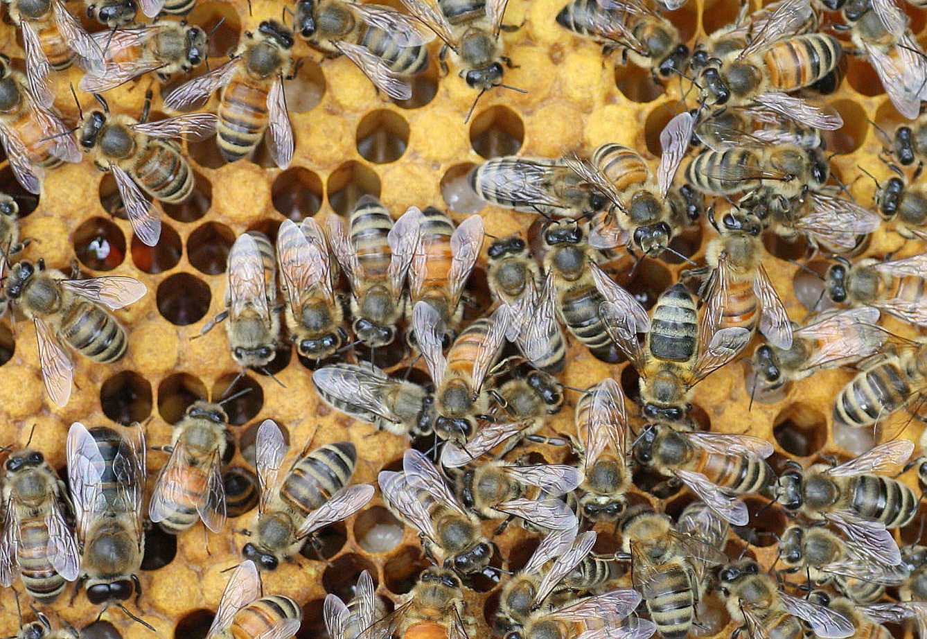 Different Types of Bees Pictures on Animal Picture Society - photo#5