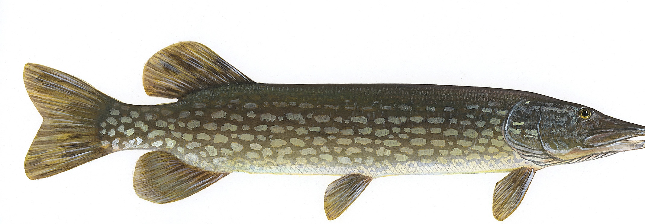 Northern pike fish pictures on animal picture society for Northern pike fish