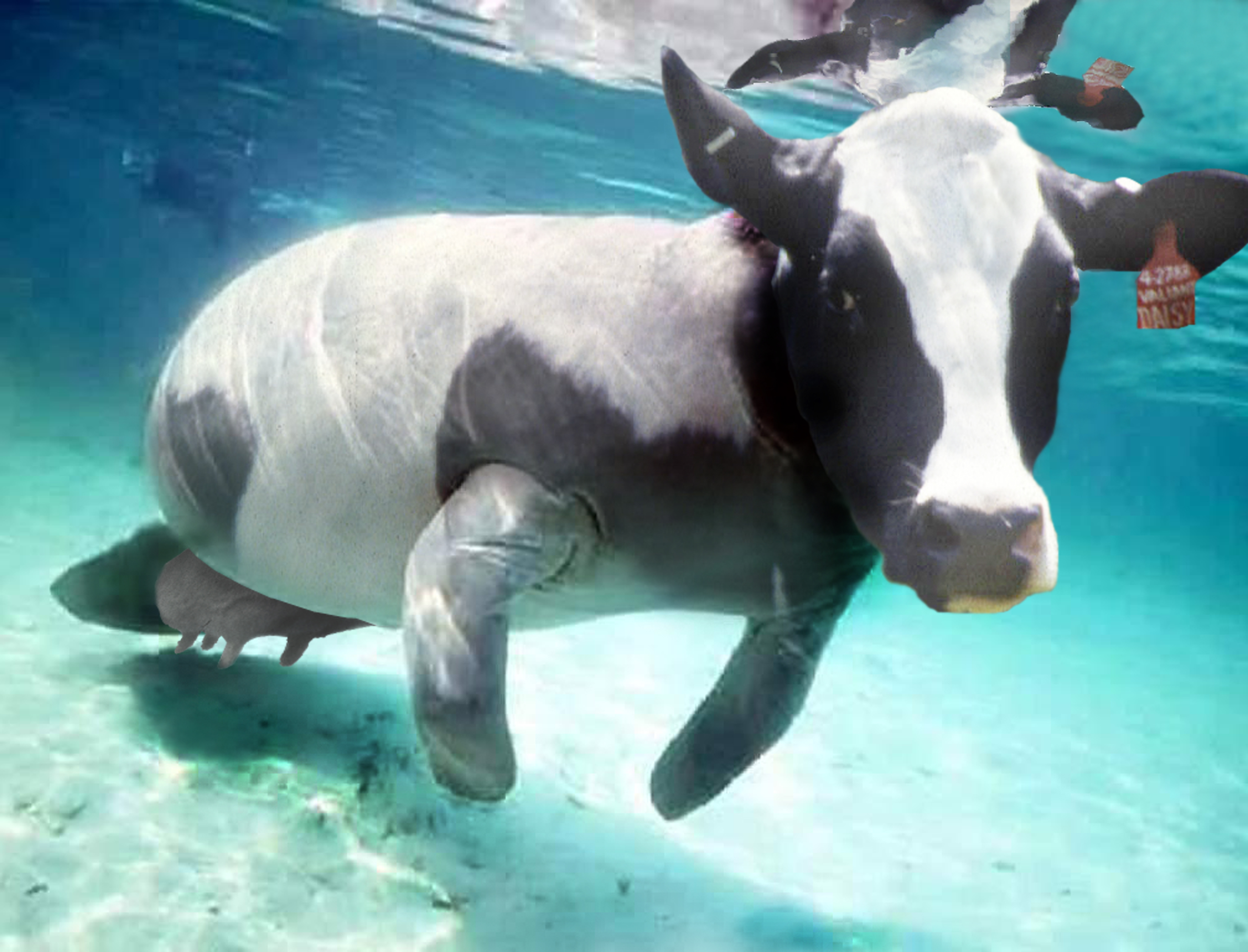 a study of the manatee the cows of the sea