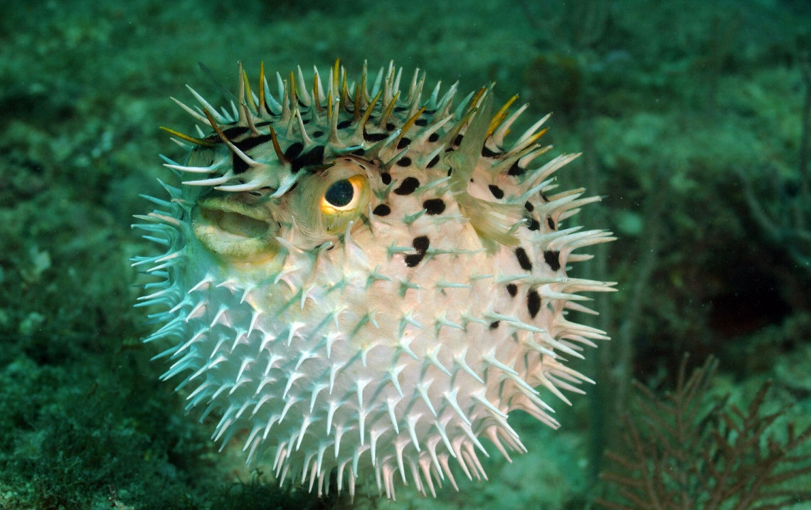 Download puffer fish pictures for your project on animal for Puffer fish images