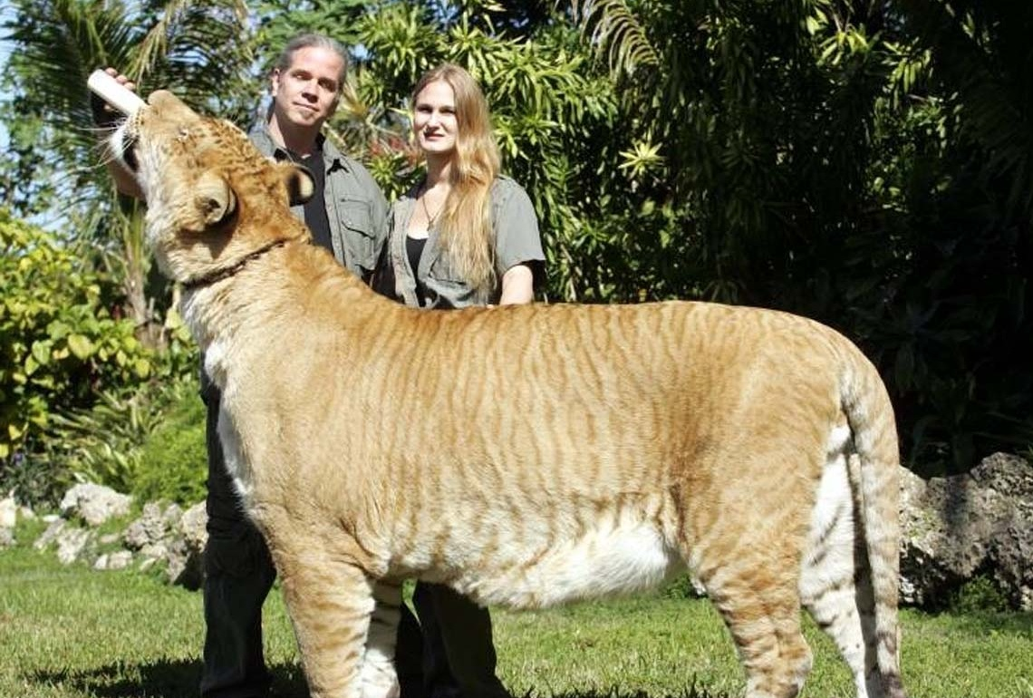 Real Liger Pictures for Your Project on Animal Picture Society