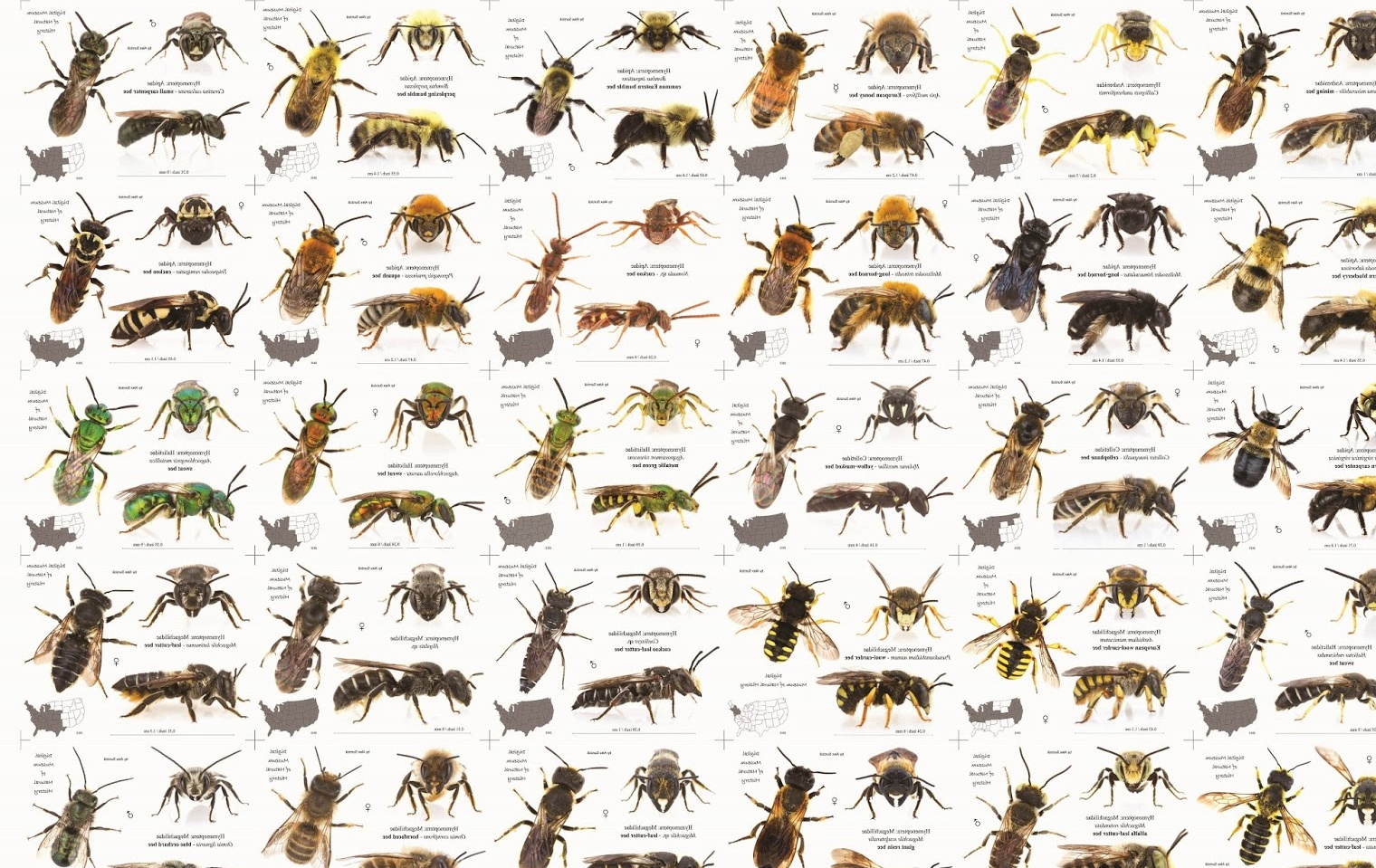Types of Honey Bees Pictures on Animal Picture Society - photo#3